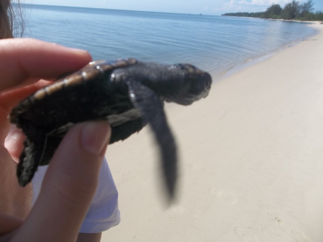 This is the turtle that I released into the ocean.  I named it Patent Pending.