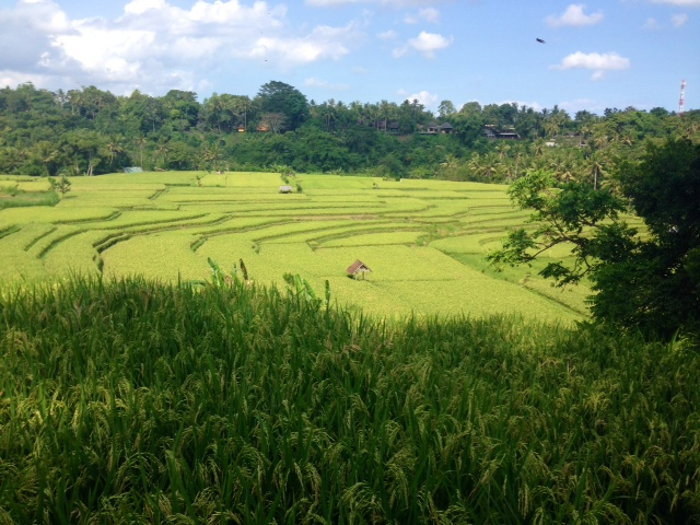 This is Ally's favorite picture of the rice paddies that they explored.